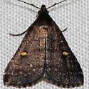 Orange-spotted Idia Moth - Tetanolita mynesalis - male