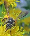 Andrena nubecula - female