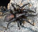 Unknown Spider - Gnaphosa