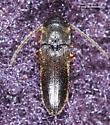 Coleoptera - Microrhagus subsinuatus