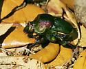 Phanaeus vindex female - Phanaeus vindex - female