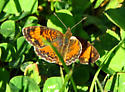 Northern Crescent Butterfly - Phyciodes cocyta - male