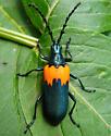 Elderberry Borer - Desmocerus palliatus