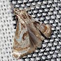 Elegant Grass-veneer Moth - Hodges #5420 - Microcrambus elegans