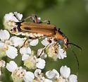 Chauliognathus ? - Chauliognathus marginatus