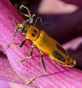 Golden Rod Soldier Beetle Chauliognathus pensylvanicus - Chauliognathus pensylvanicus