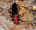 Small Cerambycid under bark - Neoalosterna capitata