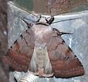 Pretty moth - Anicla illapsa - female