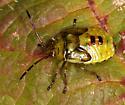 true bug nymph - Elasmostethus cruciatus