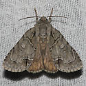 Radcliffe's Dagger Moth - Hodges#9209 - Acronicta radcliffei