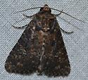Condica vecors – Dusky Groundling Moth  - Condica vecors