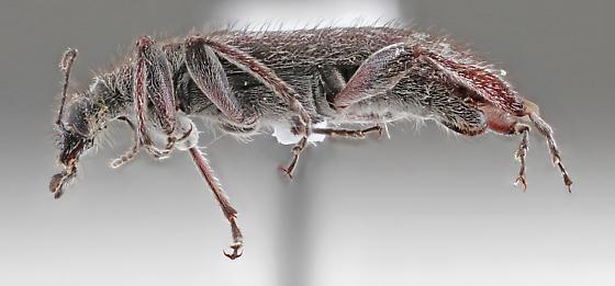 Anthicidae - Retocomus duboisi - male