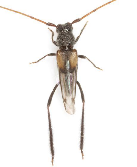Coleomethia xanthocollis (Knull)  - Coleomethia xanthocollis