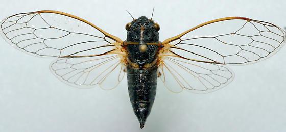 Unknown Okanagana sp. - Neoplatypedia