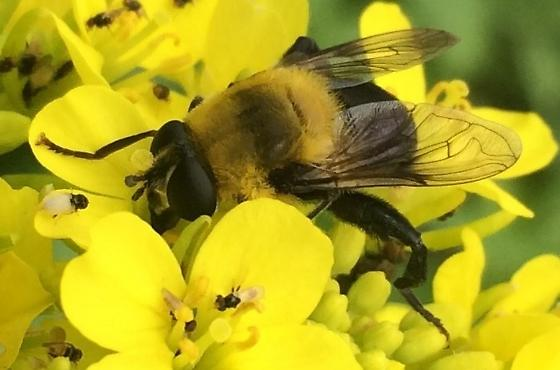 Bee Mimic - Some type of fly - Mallota bautias - female
