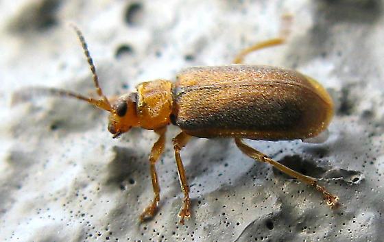 Purple Loosestrife Beetle - Neogalerucella calmariensis