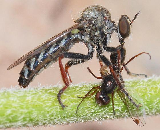 Metapogon punctipennis