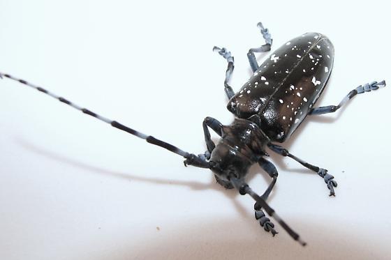 Asian longhorned beetle in Massachusetts - Anoplophora glabripennis - female