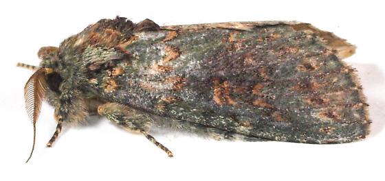 Wavy lined heterocampa Hodges #7995 - Heterocampa biundata - male