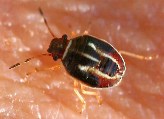 True bug nymph - Mormidea lugens