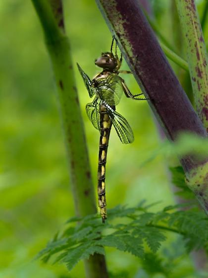 Dragonfly? - Neurocordulia