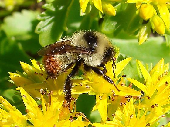Bumble Bee - Bombus rufocinctus - female