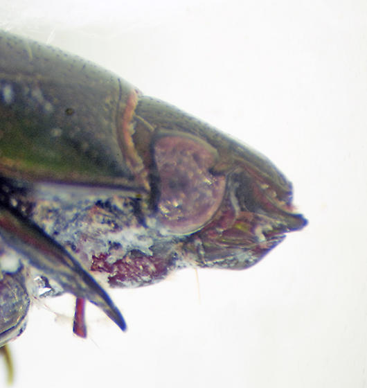 Unknown Coleopteran - Dyscinetus morator