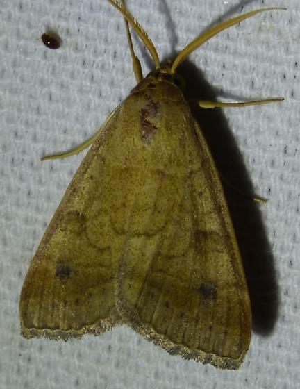 Caenurgia chloropha Vetch Looper Moth  - Caenurgia chloropha