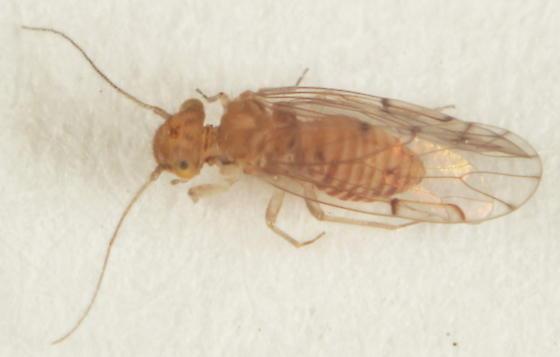 Unknown Psocodea - Ectopsocus meridionalis