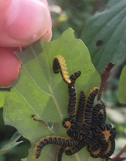 What is this! - Macremphytus tarsatus