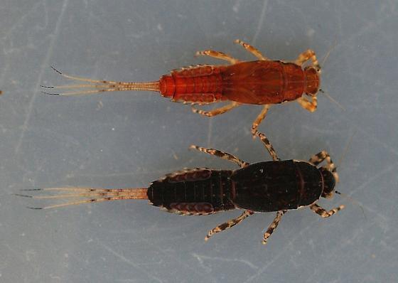 Ephemerella dorothea infrequens - voucher specimens, in alcohol - Ephemerella dorothea