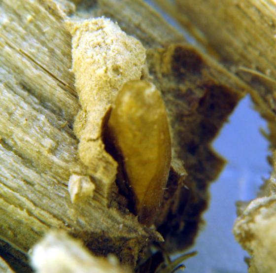 small white moth - Prodoxus decipiens