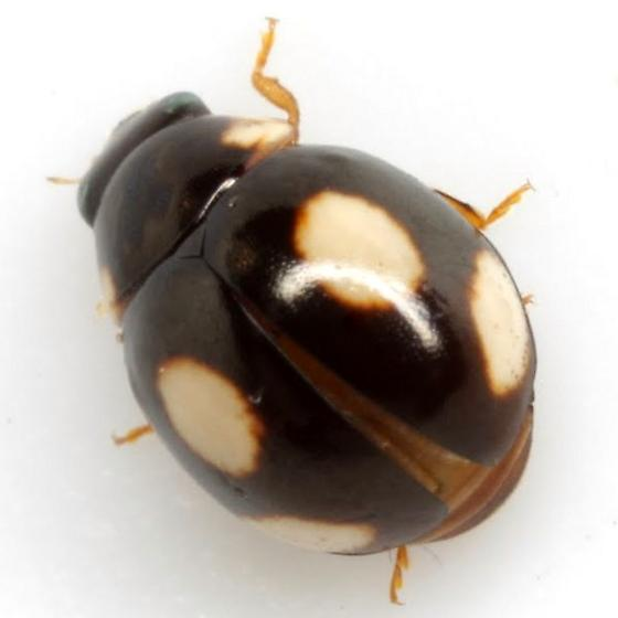 Hyperaspis rotunda Casey - Hyperaspis rotunda