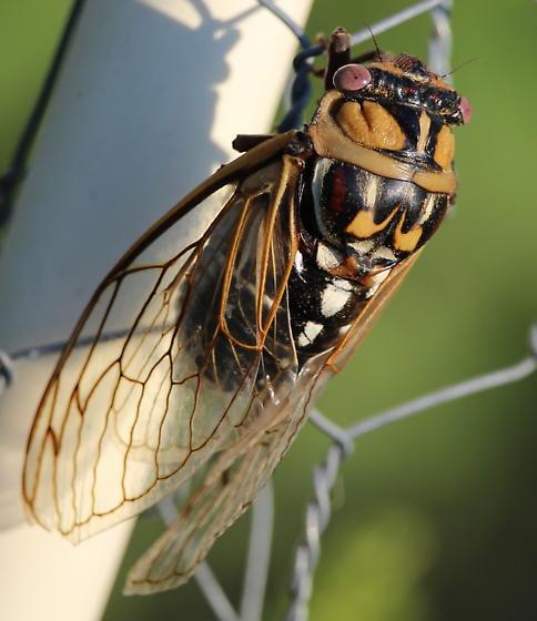 Unknown Cicadas - Megatibicen dorsatus