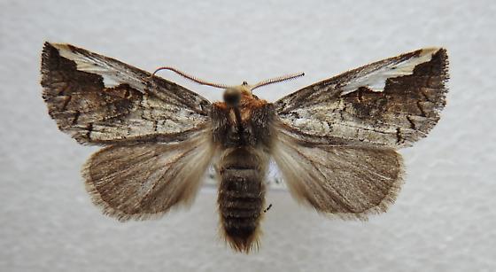 Symmerista albifrons - White-headed Prominent - Hodges#7951 - Symmerista albifrons - male