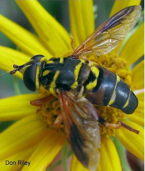 Diptera   Syrphidae - Meromacrus acutus