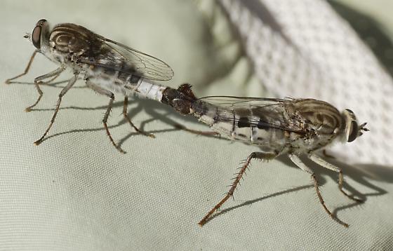 Mating pair of Apiocera haruspex atrifasciata? - Apiocera - male - female