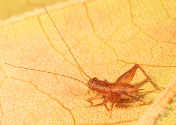 small cricket nymph - Falcicula hebardi