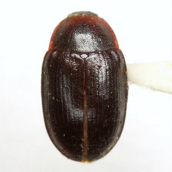 Hyporhagus gilensis Horn - Hyporhagus gilensis