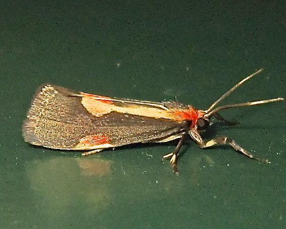 Packard's Lichen Moth - Hodges #8072 (Cisthene packardii) - Cisthene packardii
