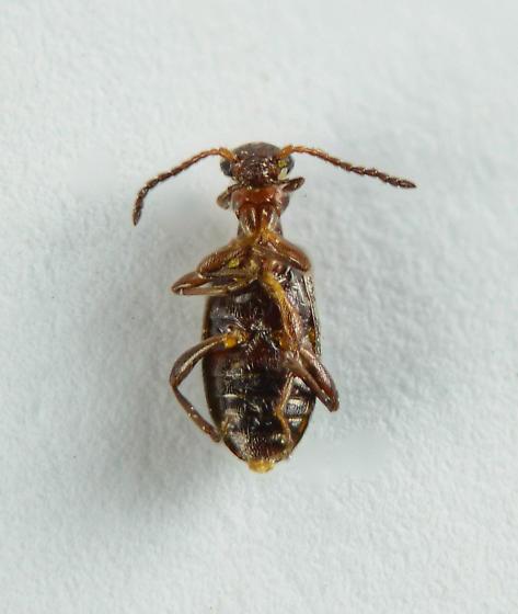 Anthicid? - Ischyropalpus