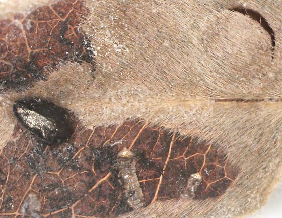 Buprestidae - Pachyschelus laevigatus