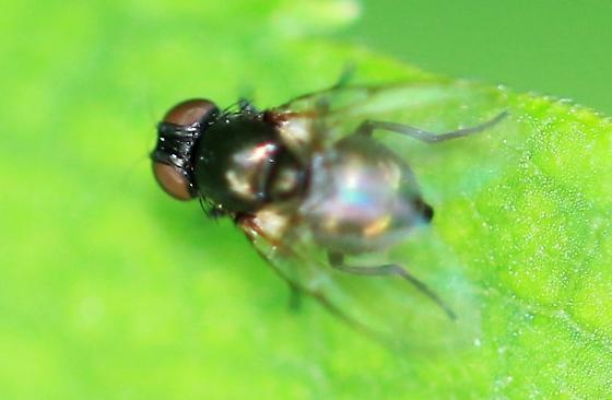 small shiny dark green fly