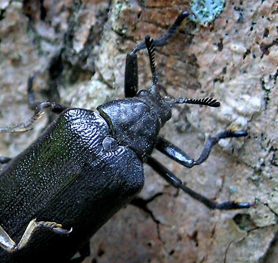 What type of Beetles? - Sandalus niger - female