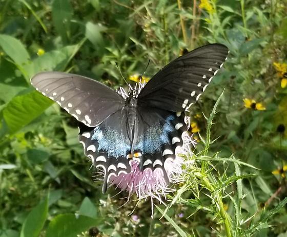 Spicebush Swallowtail? on Thistle - Papilio troilus