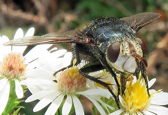 Archytas metallicus - female