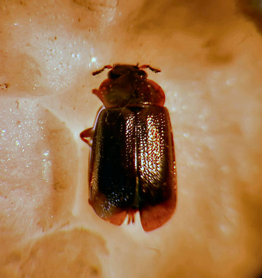 unk. beetle - Anthobium