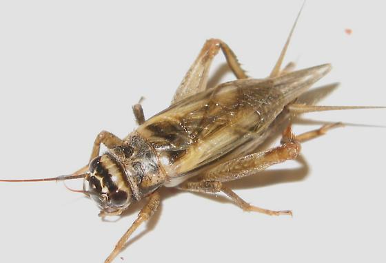 117 day old Cricket - Acheta domesticus - male