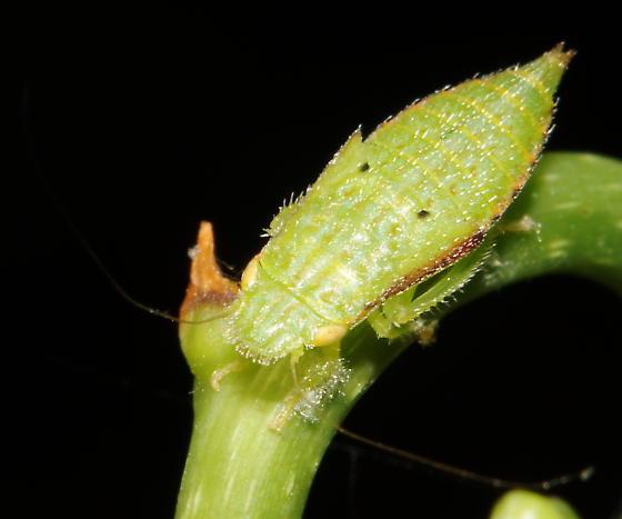 Unknown nymph - Ponana pectoralis