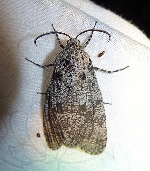 Prionoxystus robiniae -  Robin's Carpenterworm Moth  - Prionoxystus robiniae - female